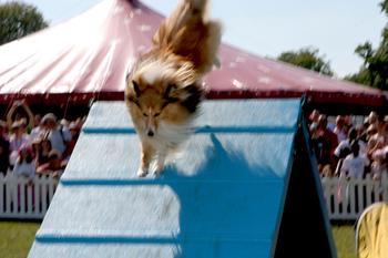 Dog_agility